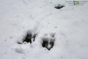 Elchblick - Elchspuren im Schnee